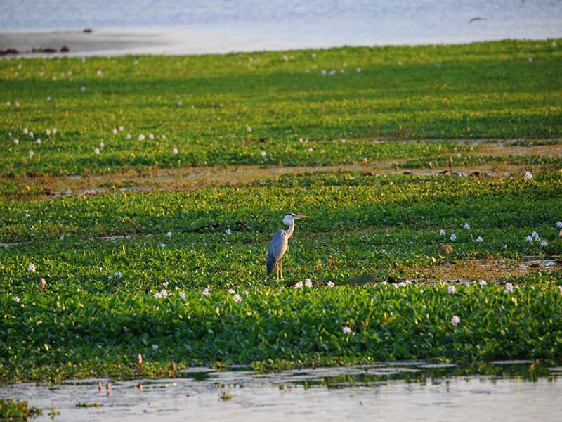 Birds of Sri Lanka in 9 days – 8 nights